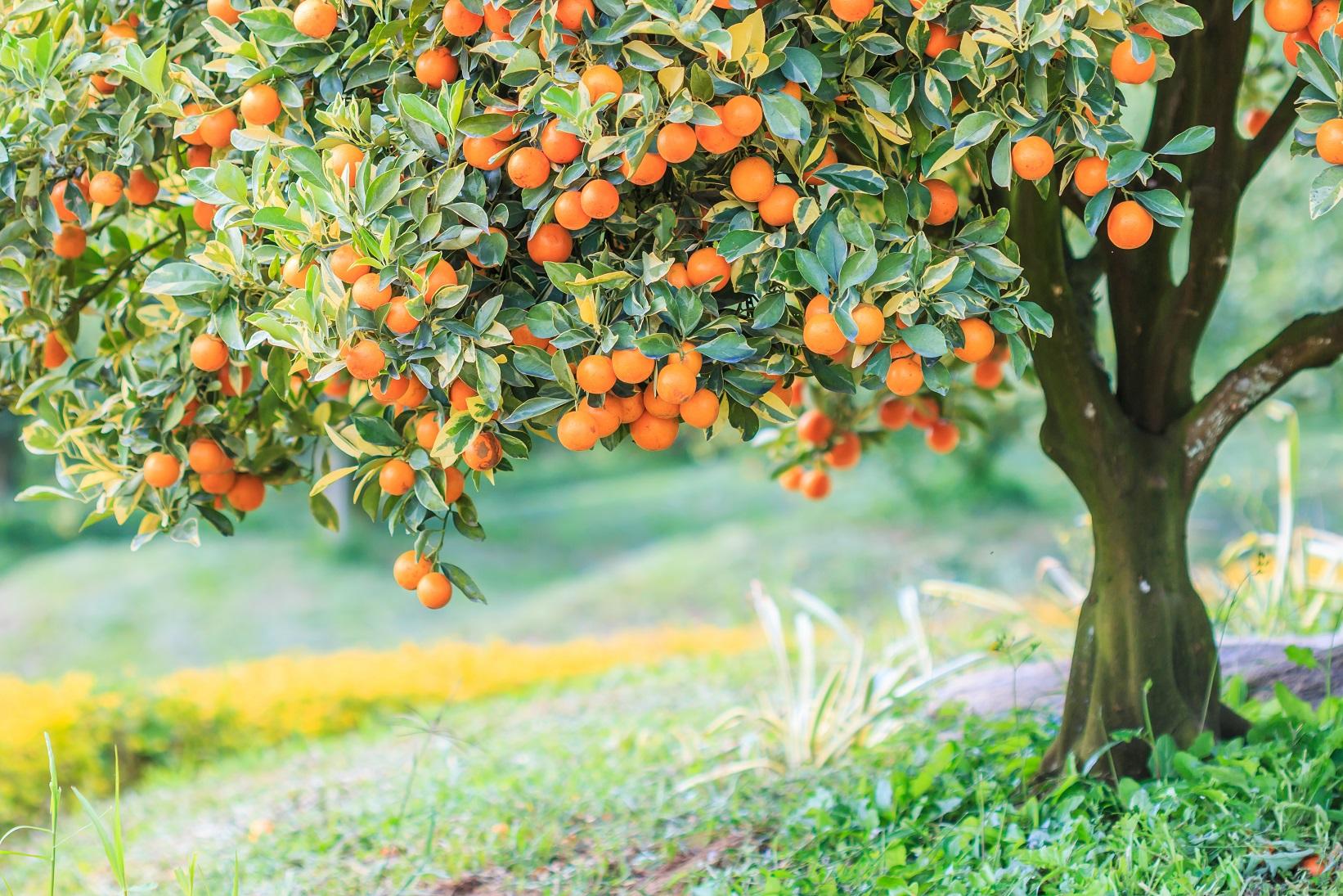 oranger et agrumes dans le sud de la France